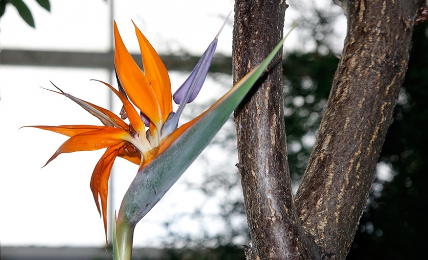 <em>Strelitzia reginae</em> - bird of paradise
