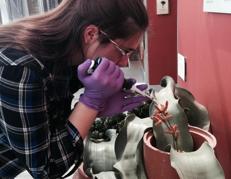 Student collecting samples from Welwitschia plant