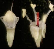 Bunchberry dogwood flowers