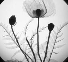 poppies radiograph